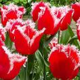 Gratis Pakket met 35 Tulpenbollen 'New Santa'
